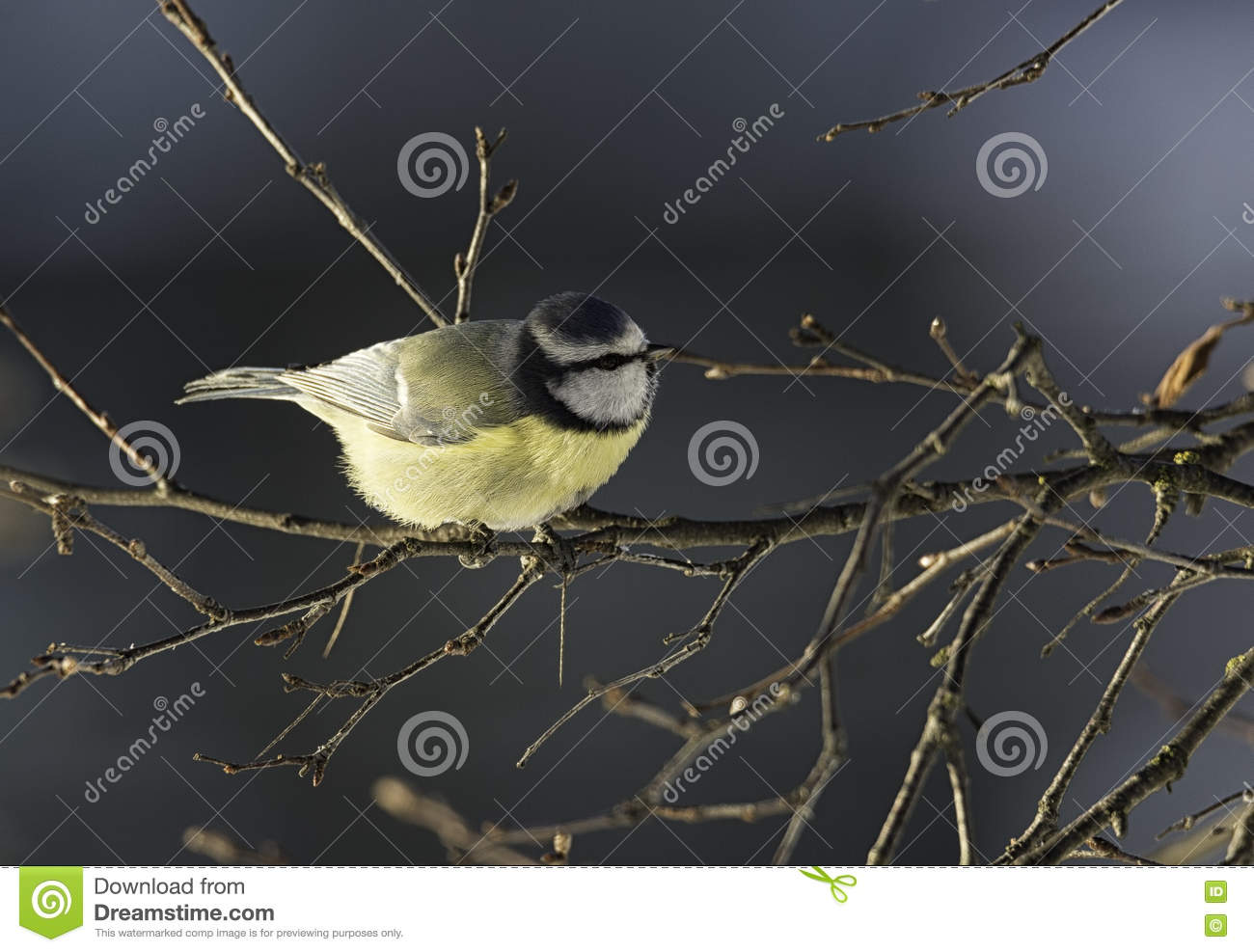 Eurasian Blue Tit clipart #11, Download drawings