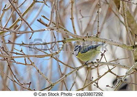 Eurasian Blue Tit clipart #12, Download drawings