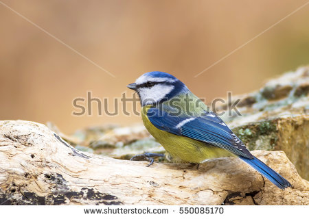Eurasian Blue Tit clipart #18, Download drawings