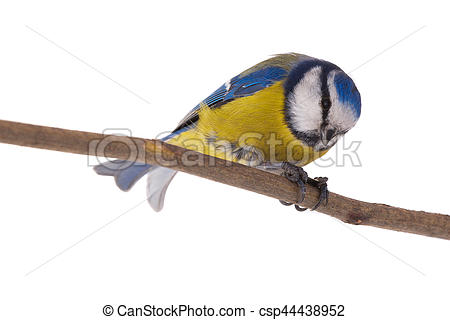 Eurasian Blue Tit clipart #19, Download drawings