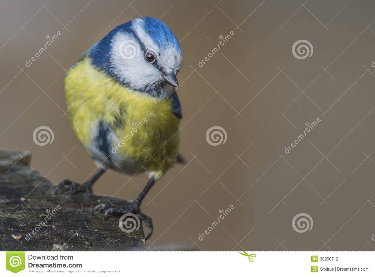 Eurasian Blue Tit clipart #3, Download drawings