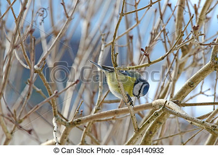Eurasian Blue Tit clipart #6, Download drawings