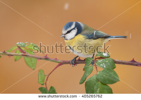 Eurasian Blue Tit clipart #8, Download drawings