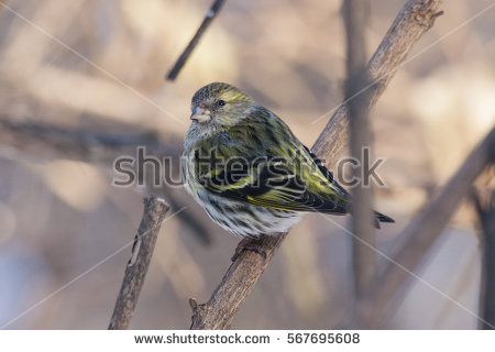 Eurasian Siskin clipart #9, Download drawings