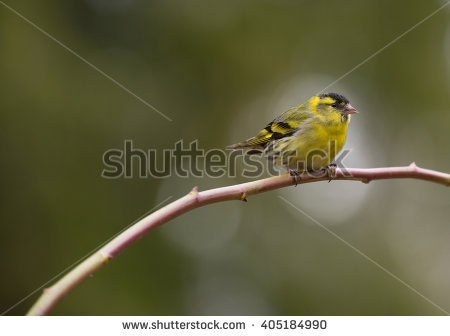 Eurasian Siskin clipart #17, Download drawings