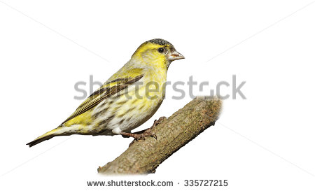 Eurasian Siskin clipart #15, Download drawings