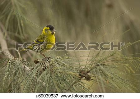 Eurasian Siskin clipart #14, Download drawings