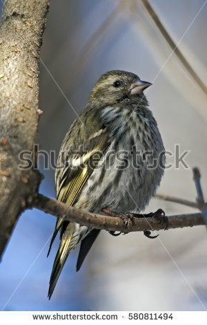 Eurasian Siskin clipart #1, Download drawings
