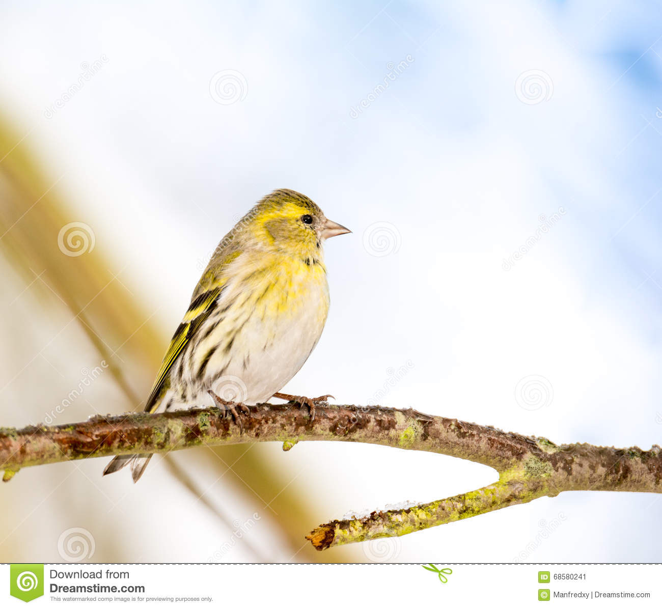 Eurasian Siskin clipart #4, Download drawings