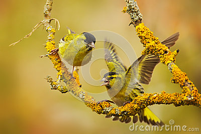 Eurasian Siskin clipart #5, Download drawings
