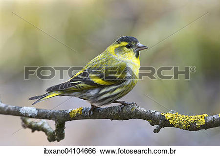 Eurasian Siskin clipart #2, Download drawings