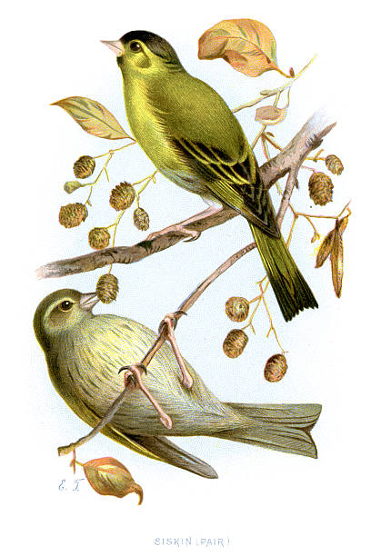 Eurasian Siskin clipart #20, Download drawings