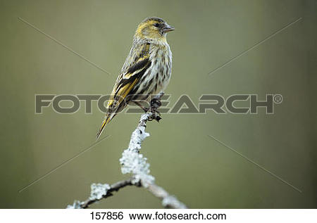 Eurasian Siskin clipart #16, Download drawings