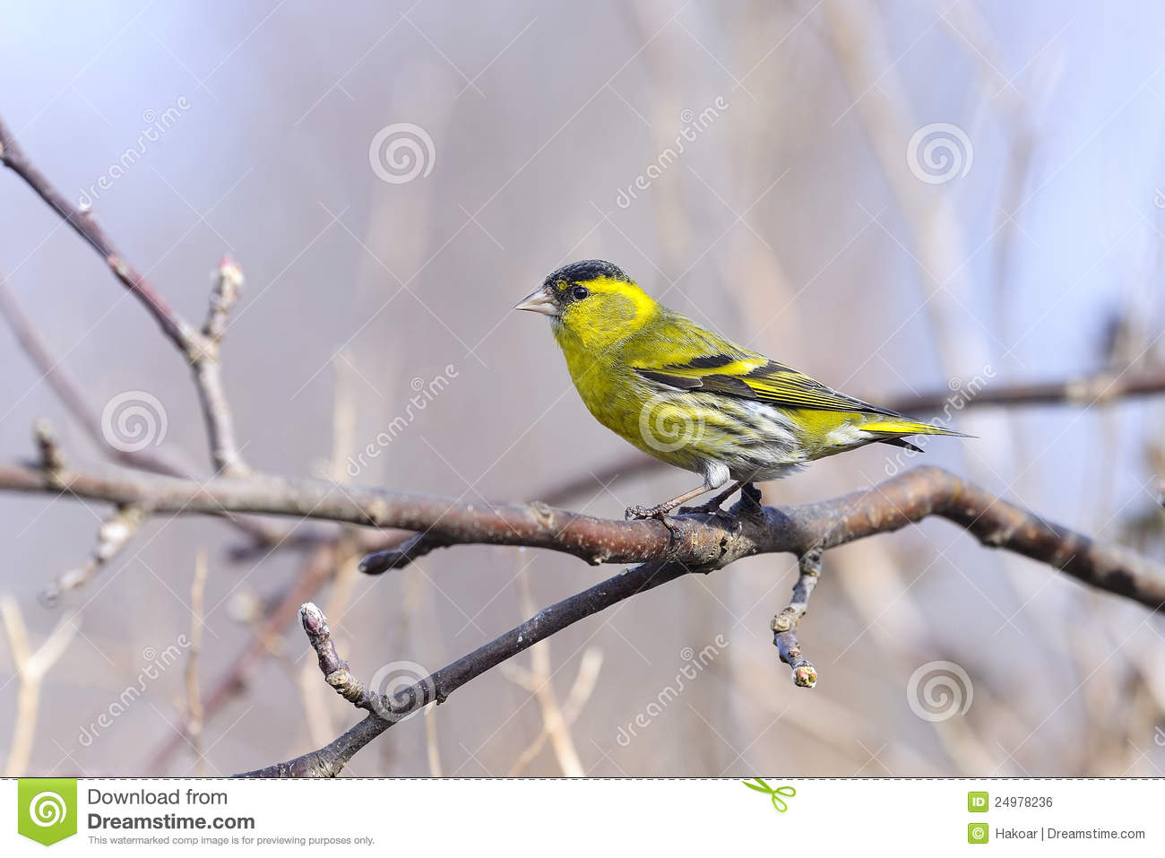 Eurasian Siskin clipart #10, Download drawings