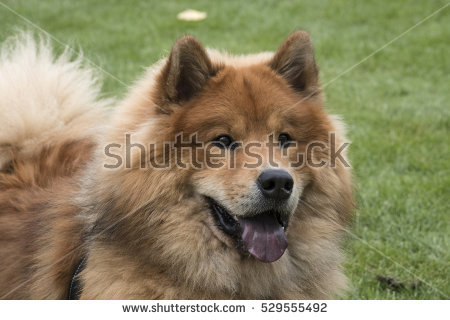 Eurasier clipart #6, Download drawings