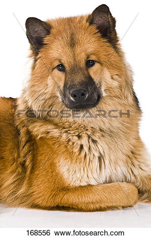 Eurasier clipart #15, Download drawings