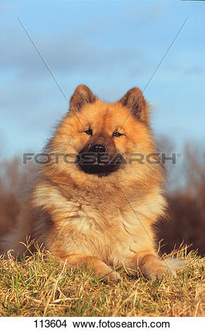 Eurasier clipart #17, Download drawings