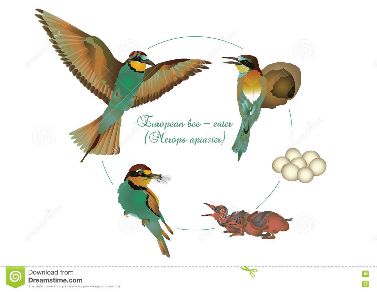 European Bee-eater clipart #9, Download drawings
