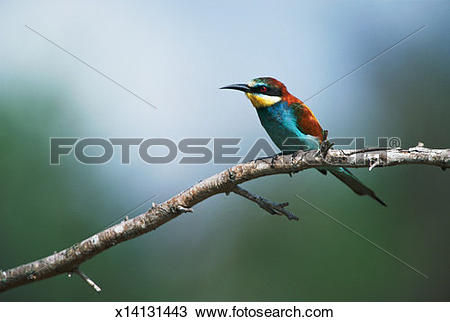 European Bee-eater clipart #5, Download drawings
