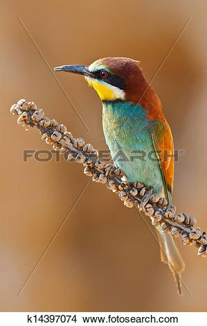 European Bee-eater clipart #4, Download drawings