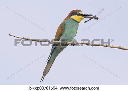 European Bee-eater clipart #16, Download drawings
