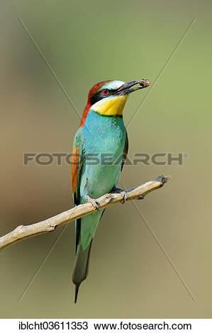 European Bee-eater clipart #14, Download drawings