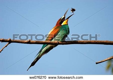 European Bee-eater clipart #15, Download drawings