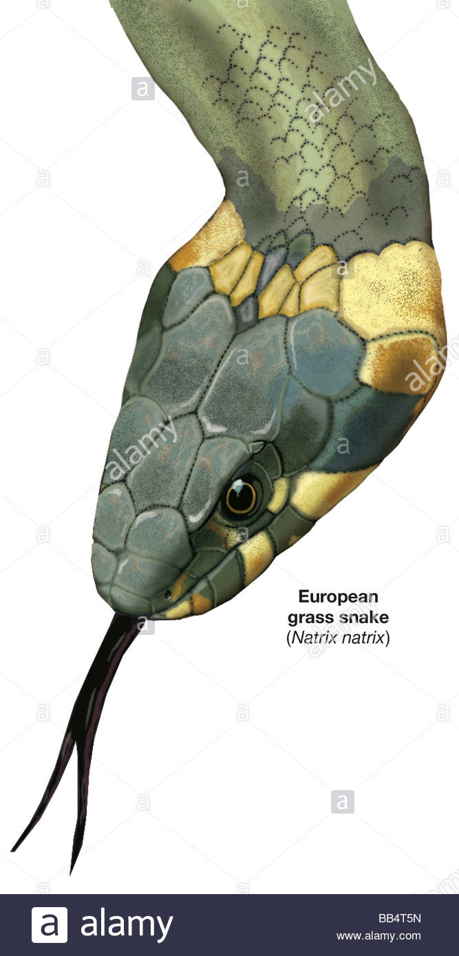 European Grass Snake clipart #6, Download drawings