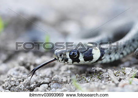 European Grass Snake clipart #8, Download drawings