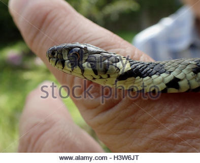 European Grass Snake clipart #14, Download drawings
