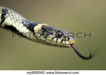 European Grass Snake clipart #2, Download drawings