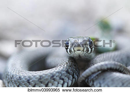 European Grass Snake clipart #3, Download drawings