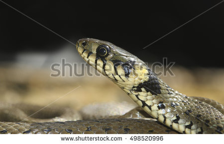 European Grass Snake clipart #15, Download drawings