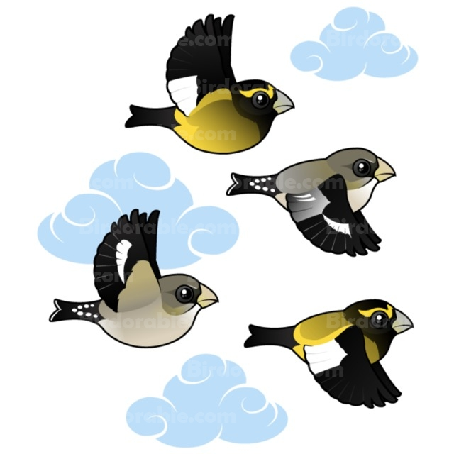 Evening Grosbeak clipart #6, Download drawings