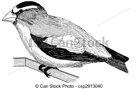 Evening Grosbeak clipart #18, Download drawings