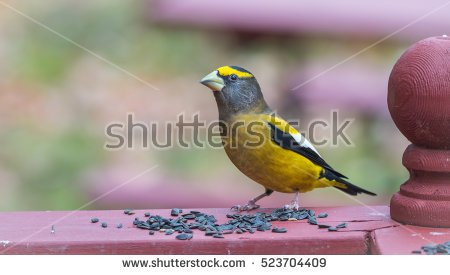 Evening Grosbeak clipart #3, Download drawings