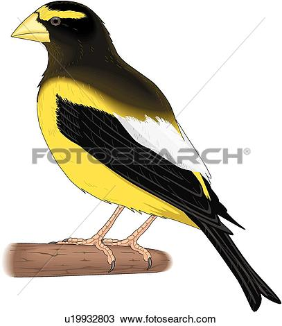 Evening Grosbeak clipart #20, Download drawings