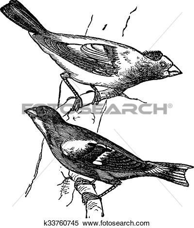 Evening Grosbeak clipart #16, Download drawings