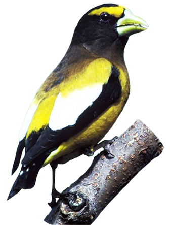 Evening Grosbeak clipart #11, Download drawings