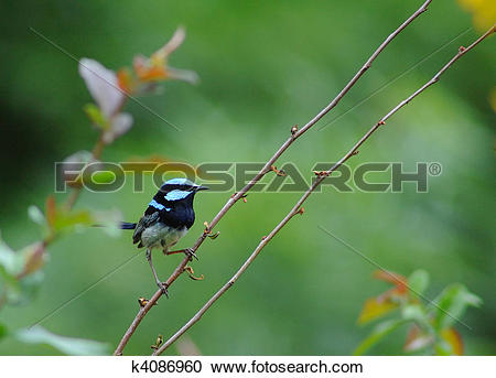 Superb Fairywren clipart #3, Download drawings