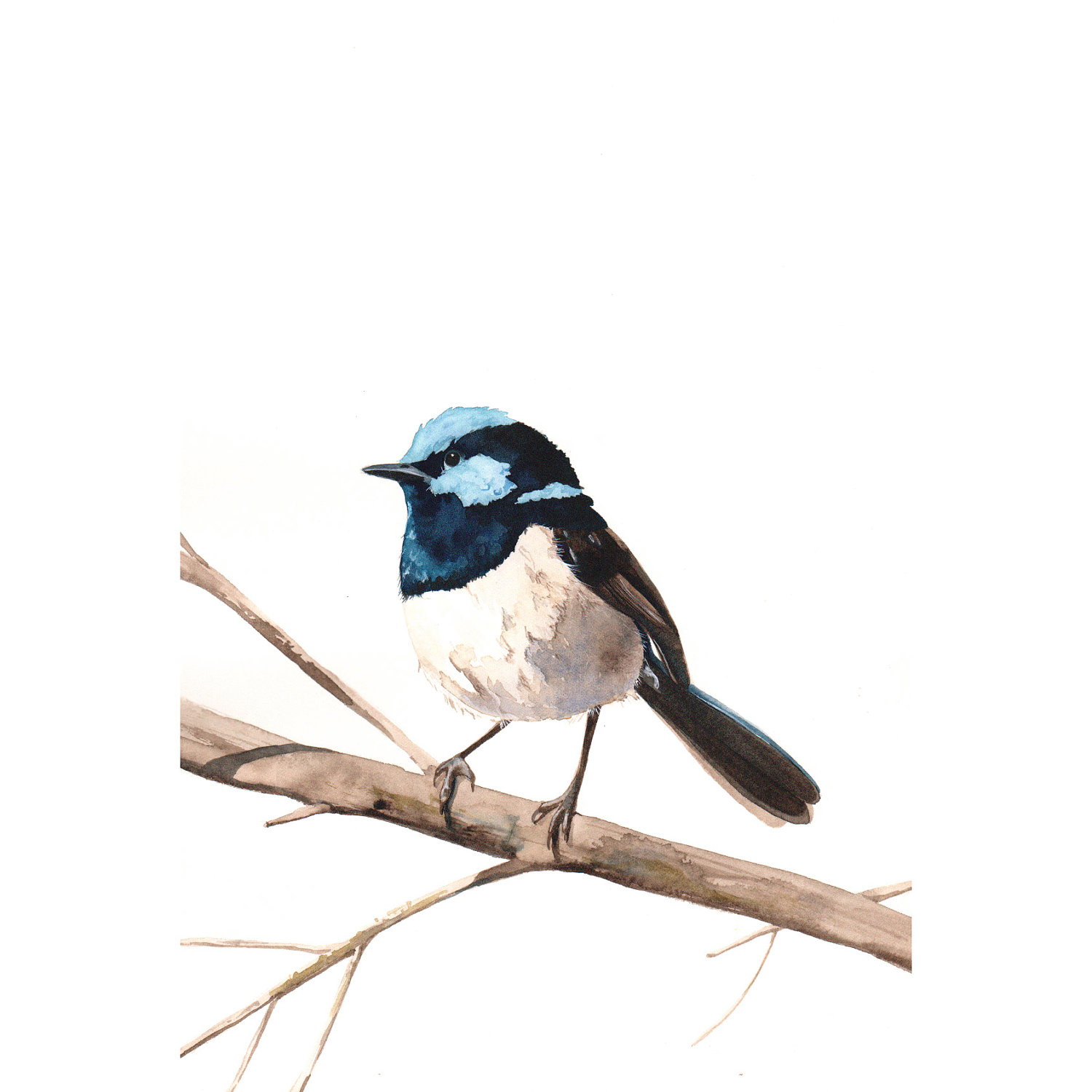 Fairy-wren clipart #6, Download drawings