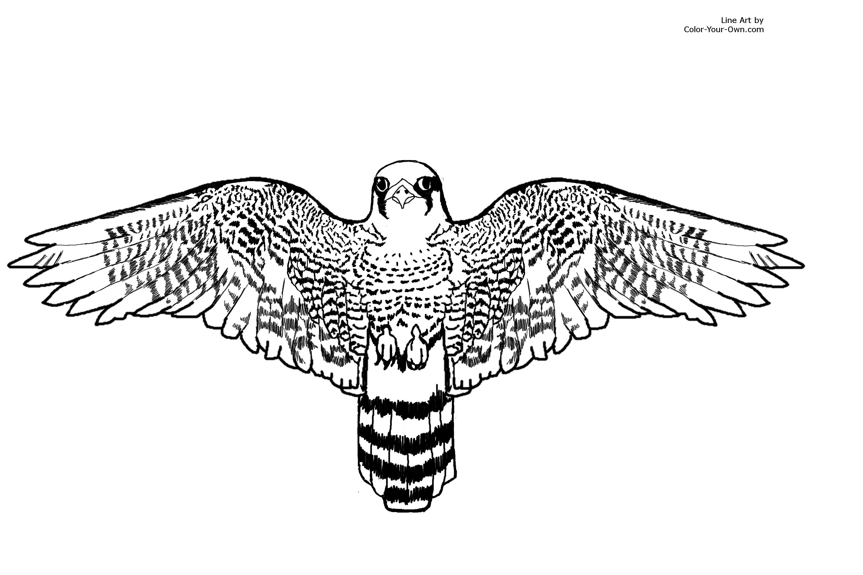 Peregrine Falcon coloring #3, Download drawings