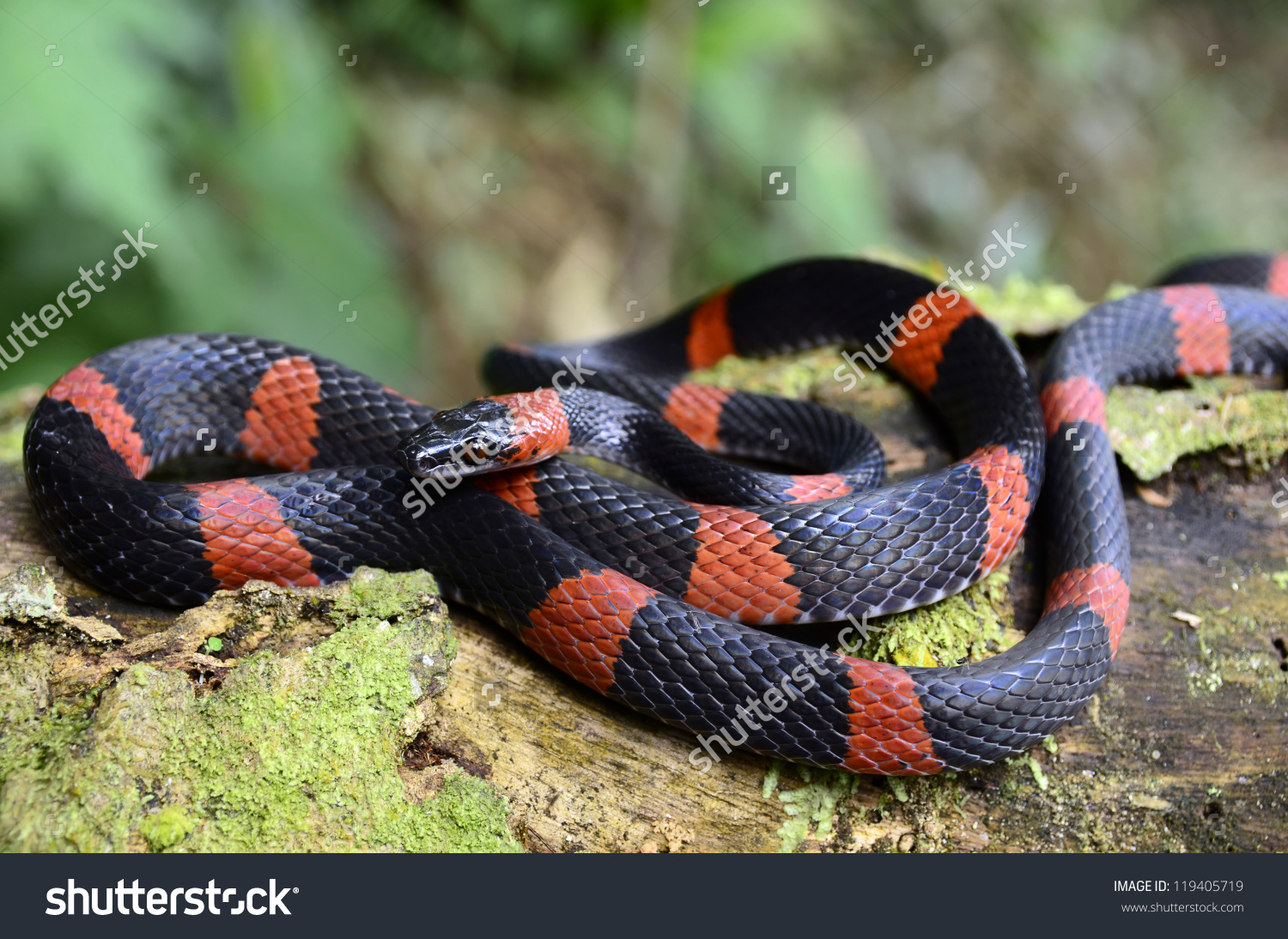 False Coral Snake clipart #3, Download drawings