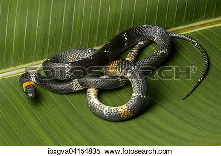 False Coral Snake clipart #16, Download drawings