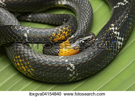 False Coral Snake clipart #18, Download drawings