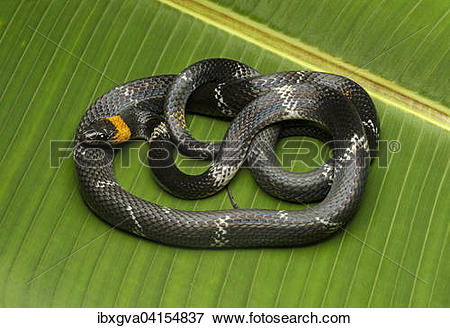 False Coral Snake clipart #19, Download drawings