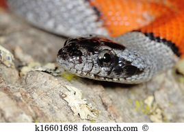False Coral Snake clipart #20, Download drawings