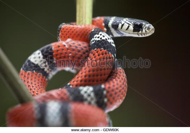 False Coral Snake clipart #11, Download drawings