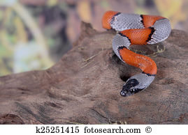 False Coral Snake clipart #13, Download drawings