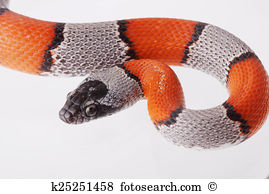 False Coral Snake clipart #12, Download drawings